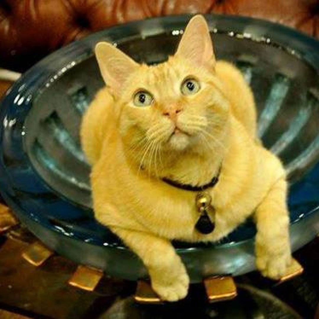 King Midas is a big yellow tom cat that resides at Silver Queen Fine Art in Park City, Utah. He's worked for the Silver Queen for the last seven years.